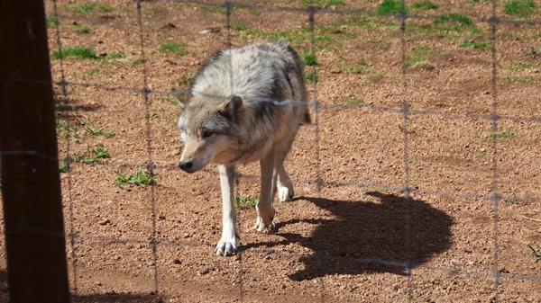 WolfSanctuaryGrayWolf1